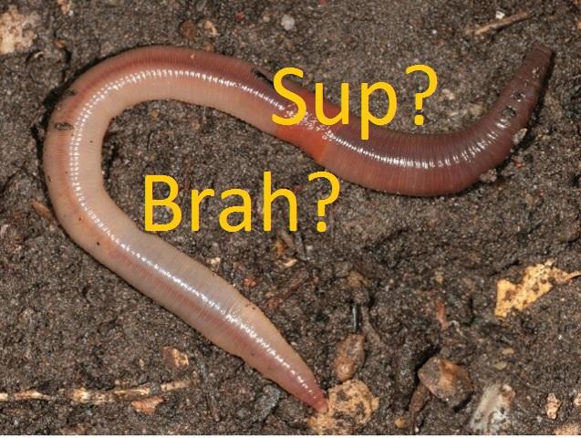 Earthworm-clitellum