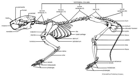 RatSkeleton